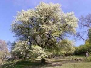 Stromom roka 2006 je hruška planá zo Zabudišovej