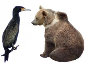 Kauza medveď a kormorán