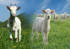 Rok drevenej Kozy/Ovce